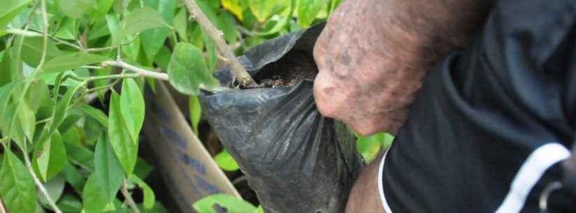 Sepedi doa mudas de planta rica em ferro e proteína