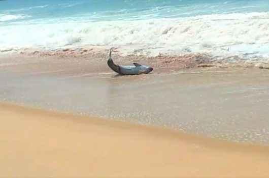FAKE NEWS: Instituto Argonauta desmente aparecimento de tubarão na Praia Massaguaçu
