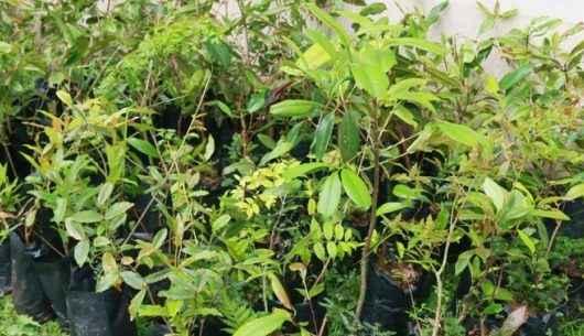 Disk Árvore de Caraguatatuba realiza doação de 1 mil mudas em 2019