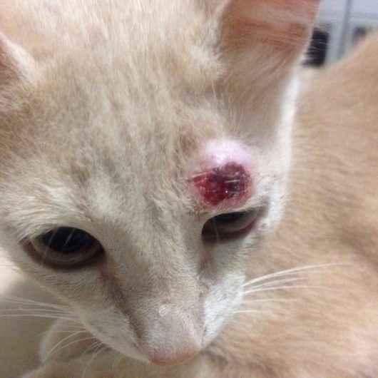 Caraguatatuba alerta sobre cuidados com gatos para evitar contágio da esporotricose em humanos