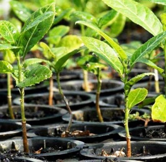 Caraguatatuba já realizou o plantio de 4,1 mil árvores dentro do Plano de Arborização Urbana